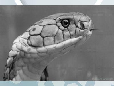 蛇伤患者招募 幻灯片制作软件