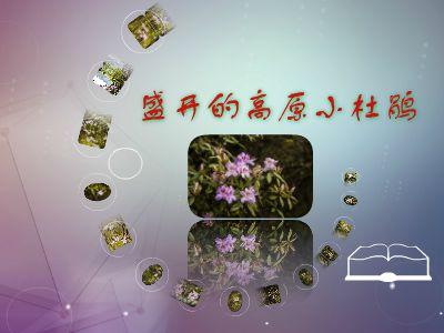 盛开的高原小杜鹃 幻灯片制作软件